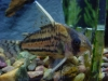 Freshwater Fish for Sale Absolutely Fish NJ - Whitefin Cory
