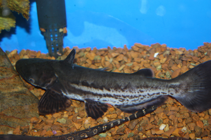 Freshwater Fish for Sale Absolutely Fish NJ - Wood Cat