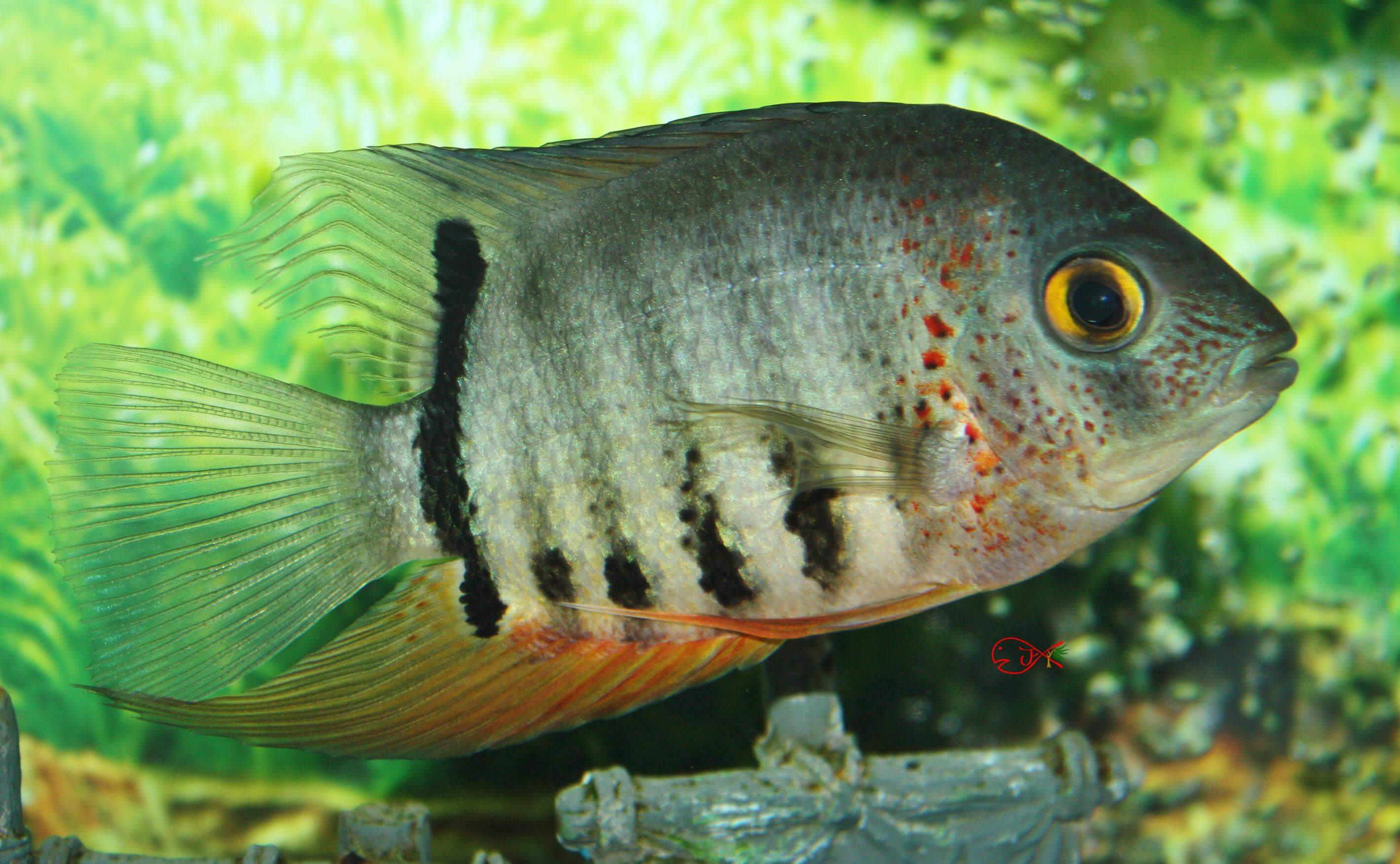absolutely fish photo gallery freshwater photos