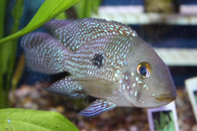 South american cichlids list - photo#20