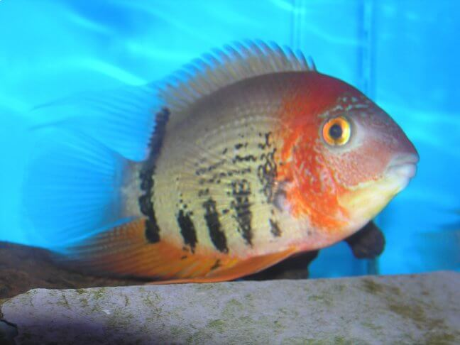 South american cichlids list - photo#14