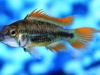 Freshwater-Fish-for-Sale-NJ-WN05-1