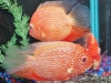 Freshwater-Fish-for-Sale-NJ-WN06-2
