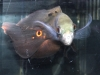 Freshwater-Fish-for-Sale-WN-20