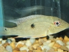Freshwater-Fish-for-Sale_WN06