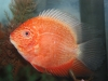 red-face-gold-severum