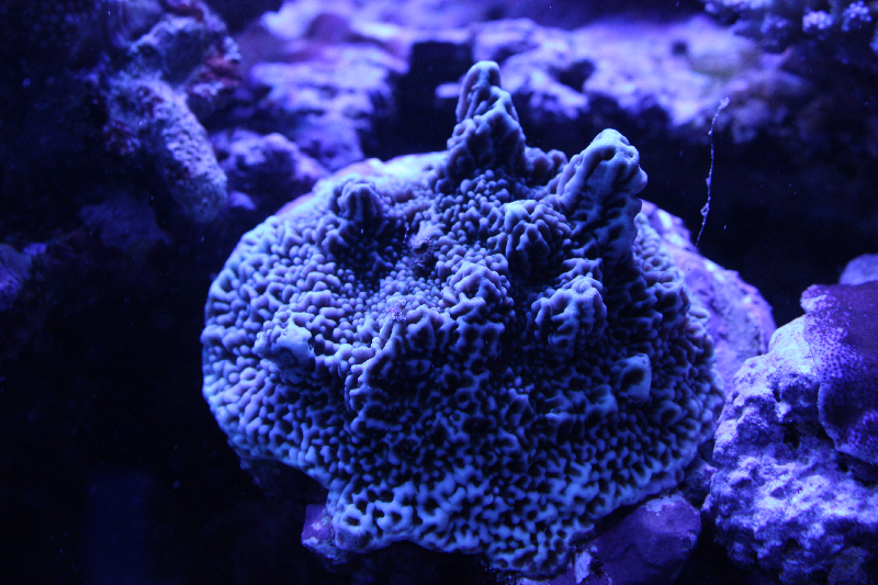 Absolutely Fish Photo Gallery - Stony Coral SPS