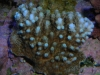 Blue Tipped Table Acropora