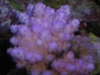 Purple Acropora sp.