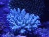 Blue Table Acropora
