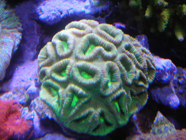 Absolutely Fish Photo Gallery - Stony Coral LPS