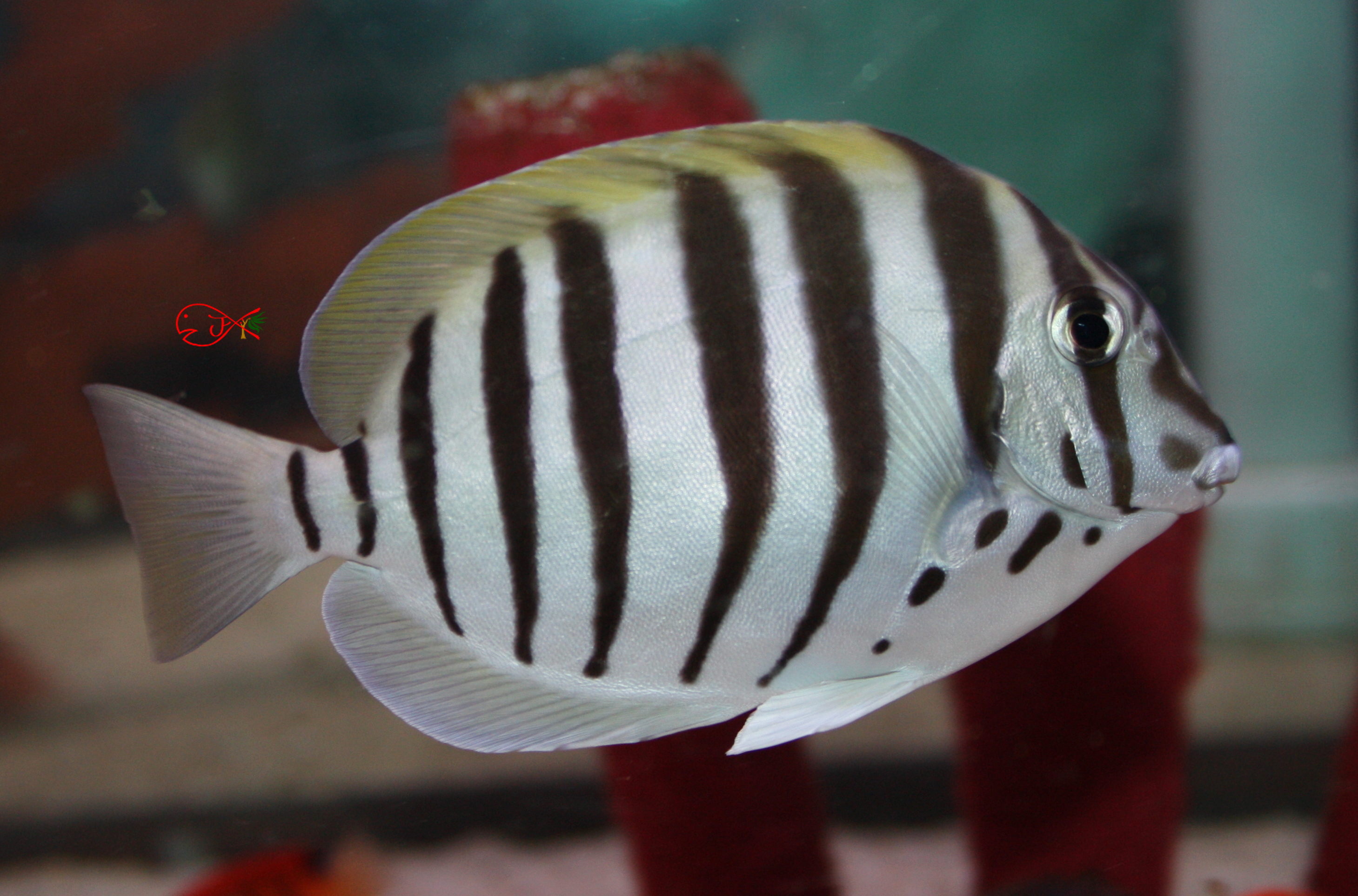 Absolutely Fish Photo Gallery - Surgeonfish & Tangs