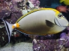 Marine Fish for Sale Absoluetly Fish NJ - Blonde Naso Tang