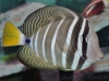 Marine Fish for Sale Absolutely Fish NJ - Sailfin Tang