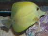 Yellow Scopas Tang