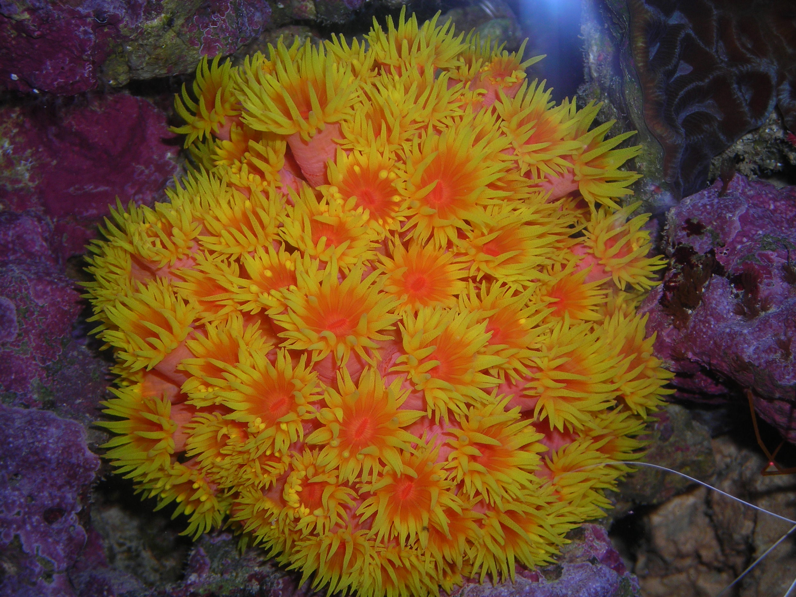Best Selection of Healthy Corals (Cnidarians) to Buy in NJ at Reduced Prices: NPS (Non-Photosynthetic Corals) Alcyonaria