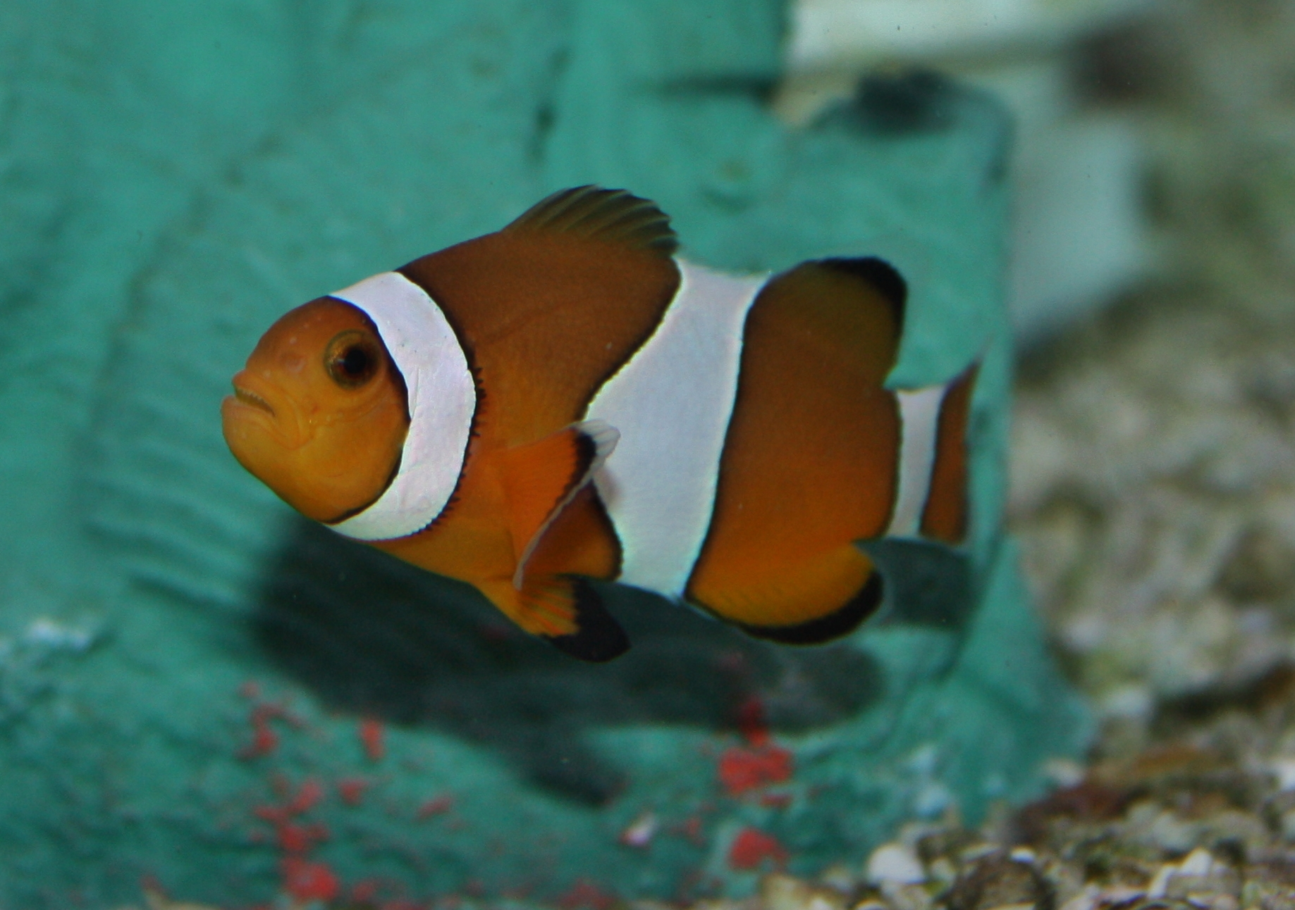 Marine Fish for Sale New Jersey - Nemo - Ocellaris Clown