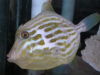 Mosaicus Filefish