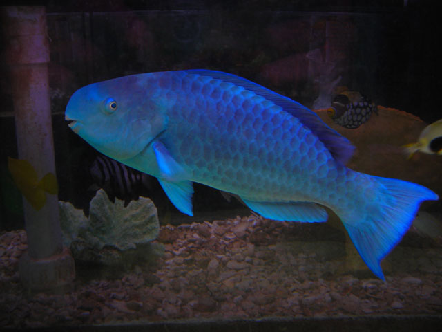 Absolutely fish photo gallery wrasses parrot fish for Blue parrot fish