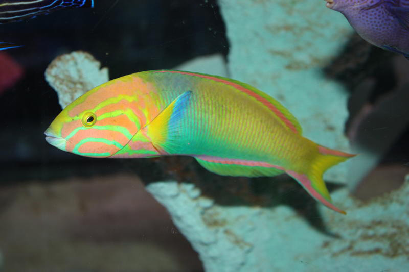 Lutescens Wrasse