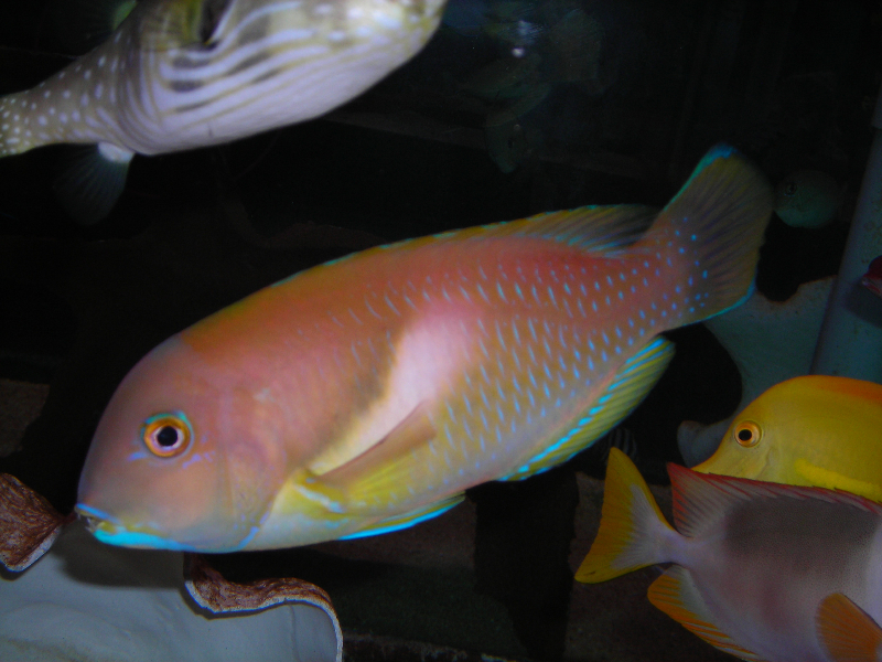 absolutely fish photo gallery wrasses parrot fish. Black Bedroom Furniture Sets. Home Design Ideas