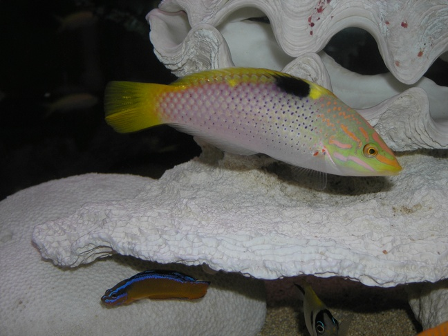 Marble Wrasse