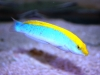 Lightening Wrasse