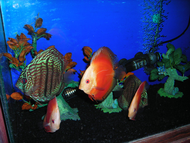 Absolutely fish 1 discus on sale absolutely fish for Live discus fish for sale