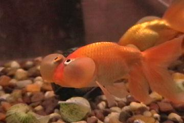 Absolutely fish articles goldfish and betta care for Feeding betta fish