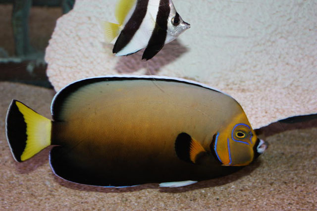 Chaetodon conspicullatus Angel a rare marine fish to buy at Absolutely Fish.