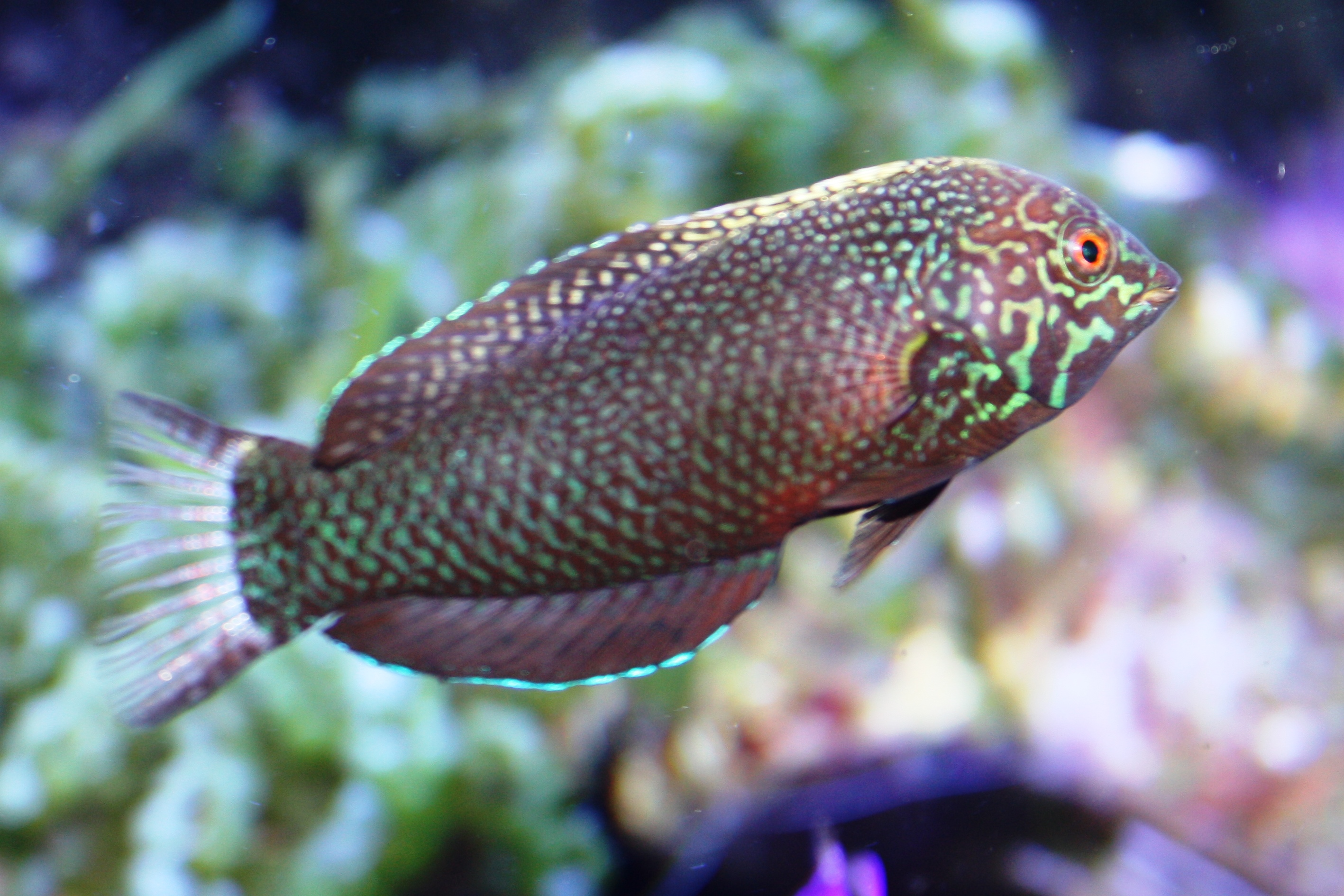Absolutely Fish Blogs - Saltwater Fish for Sale - photo#10