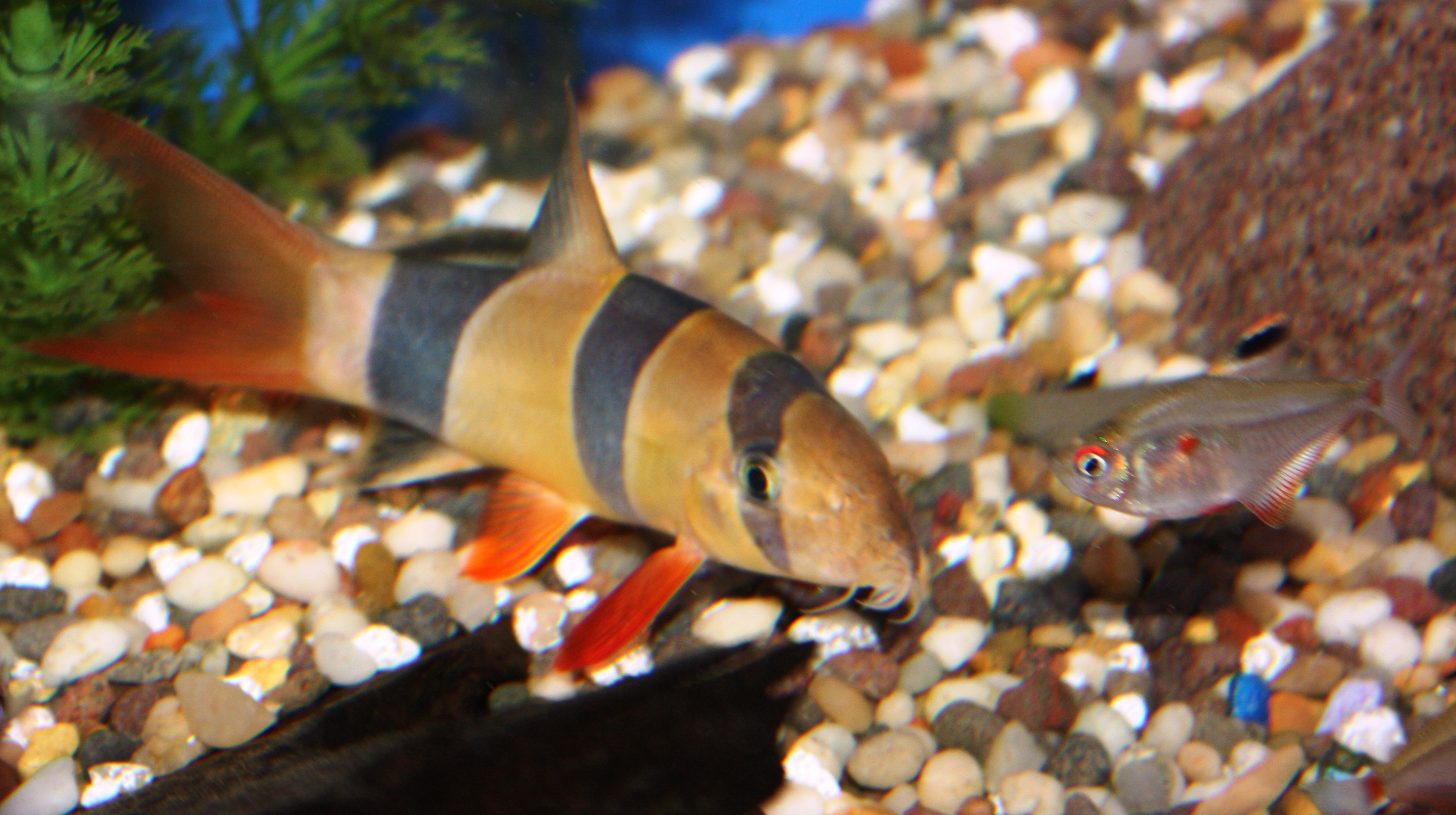 Absolutely fish blogs clowning around with clown loaches for What do clown fish eat