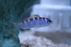 Nano Reef Fish For Sale NJ Chalk Bass