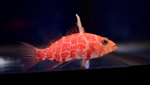 Nano Reef Fish For Sale NJ Plectranthias