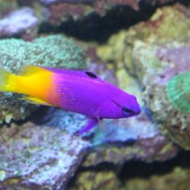 Top Ten: Nano Reef Fish