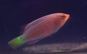 Nano Reef Fish For Sale NJ Wrasse