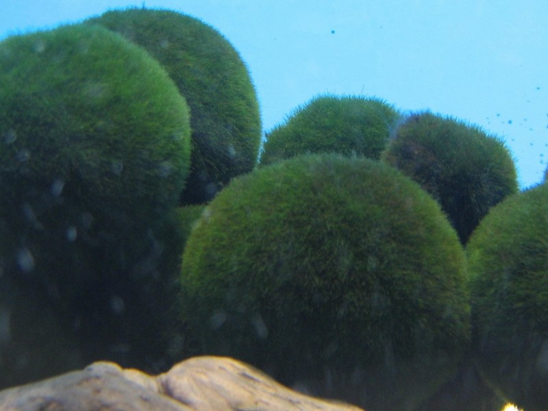 A pile of happy marimo