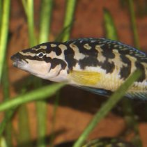 Species Suitable for a Nano African Cichlid Tank