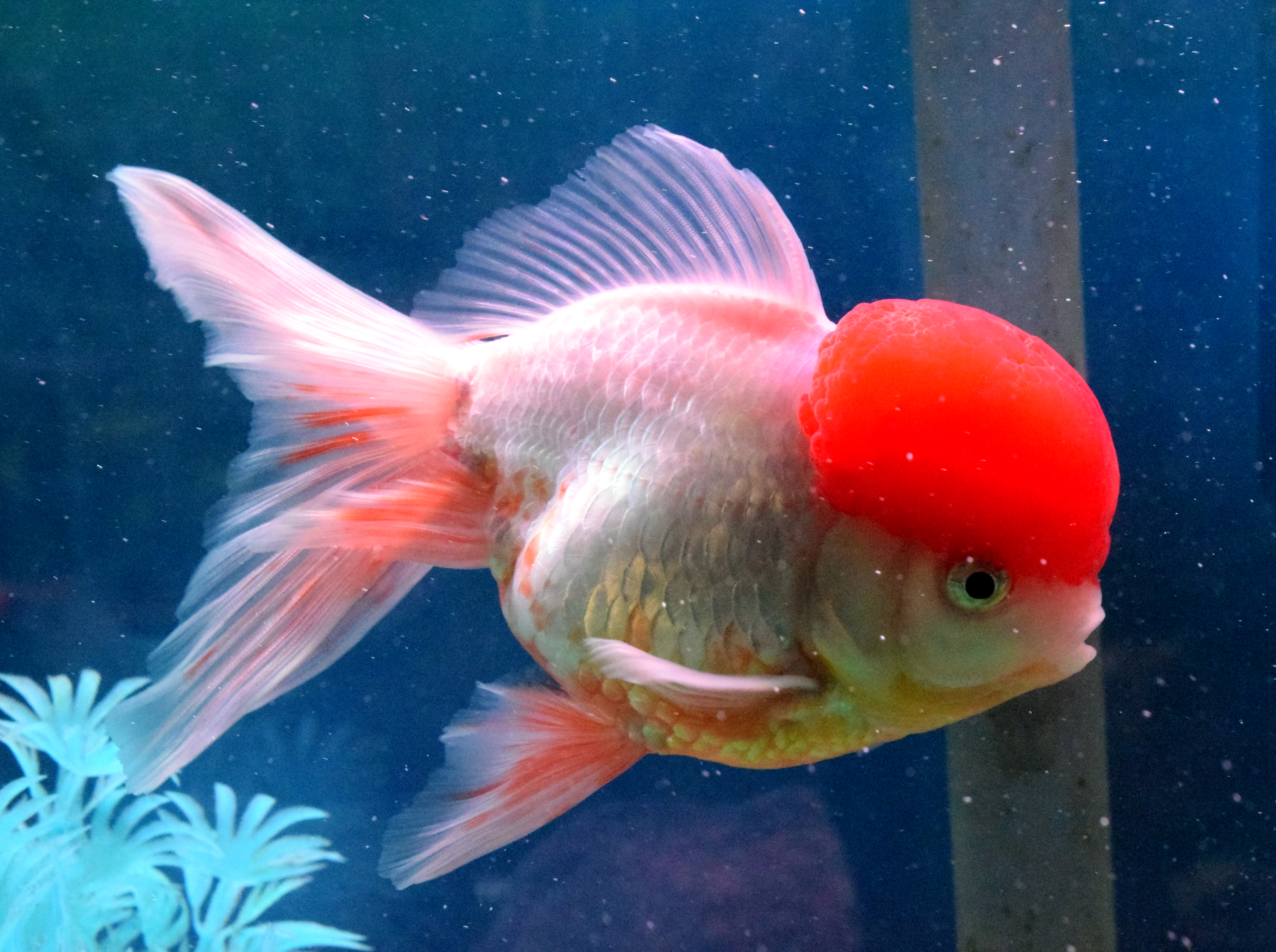 Absolutely Fish | Fancy Goldfish Trending Now! | Absolutely Fish